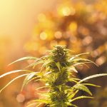 How to Grow Superior Cannabis Buds